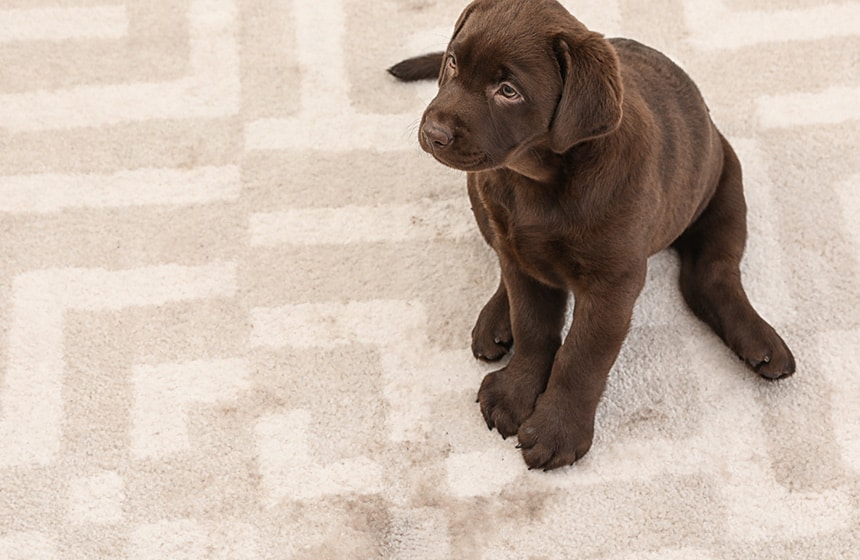 How to Clean an Area Rug with Pet Urine